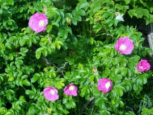 These fragrant wild roses in Point Pleasant reminded me of the field behind my grandparent's farmhouse in the Annapolis Valley.