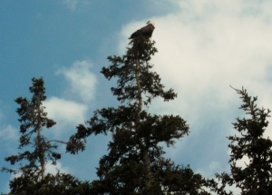 A lone Bald Eagle entertained us as a pair of seagulls chased it round while we dined outdoors at Hall's Harbour.