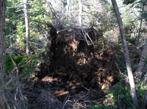 This uprooted tree was a reminder of Arthur's visit to Hall's Harbour several days later.