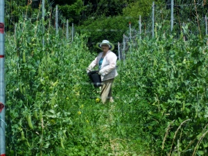 Jean, mother of Sharon is an energetic septagenarian who is actively involved in the farm's operation . She is seen here harvesting pole beans.