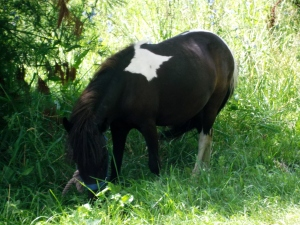 This is one of the two mini-horses on the farm.  Children adore them and so do I!
