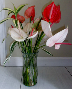 Anthurium lilies perfectly complement my celebration of Thanksgiving in Dominica.