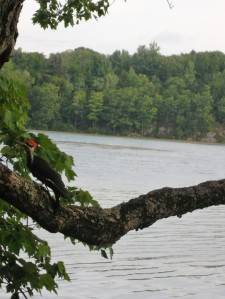 I caught this Pileated Woodpecker early one morning at Gilmour Point on Dog Lake.