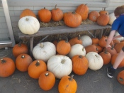 It was so easy to choose a pumkin - for pie, decoration or Jack O' Lantern!