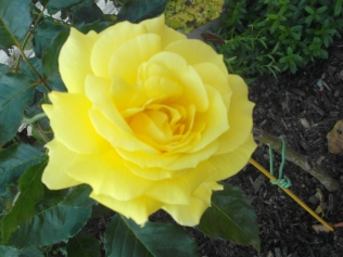 An October rose - stunning!