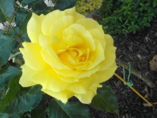 An October rose - stunning!
