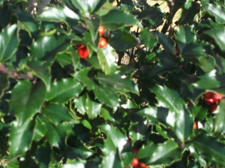 The holly and the ivy are having a good year!