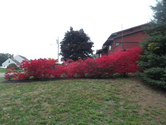 A 'Burning Bush' in Wolfville N.S.